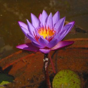 פרח סגול המסמל טיפול רגשי אישי